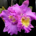 Orchids In Fuchsia  by Jeannie Rhode