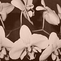 Orchids In Sepia by Lila Mattison
