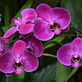 Orchids In Vivid Pink  by Jeannie Rhode