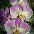 Orchids by Joshua Corrigan