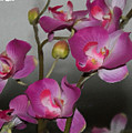 Orchids by Linda ONeill