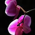 Orchids by Loredana Terpe