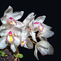 Orchids by Lynn Bolt