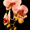 Orchids by Marc Garrido