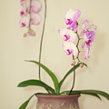 Orchids On Sideboard by Susan Gary