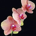 Orchids Reach For The Rainbow by Barbie Corbett-Newmin