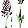 Orchis Militaris, The Military Orchid by Bildagentur-online