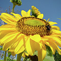 Oregon Gardens Silverton Sunflower Honeybee Baslee  by Baslee Troutman
