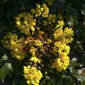 Oregon Grape Flowers by Kathy Benham