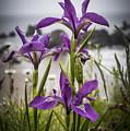 Oregon Iris At The Beach by Robert Potts