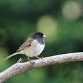 Oregon Junco by Wingsdomain Art and Photography