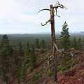 Oregon Landscape - Confused Tree At Lava Butte by Carol Groenen