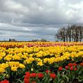 Oregon Tulip Fields 2 Photograph by Kimberly Walker