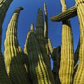Organ Pipe Cactus Arizona by Bob Christopher