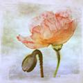 Oriental Poppy And Bud by Julie Palencia