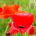 Oriental Poppy Flower Art Prints Poppies Red Baslee Troutman by Baslee Troutman