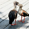 Orinoco Geese Touching Heads On A Boardwalk by Sharon Minish