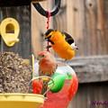 Oriole N Finch by Wendy Fox