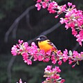 Oriole On Crabapple by MTBobbins Photography