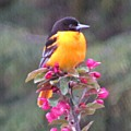 Oriole Orange by MTBobbins Photography