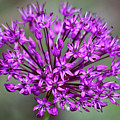 Ornamental Allium by Teresa Mucha