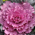 Ornamental Cabbage by Rich Bodane
