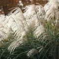 Ornamental Grass by Diane Merkle