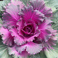 Ornamental Red Cabbage by Mary Watson