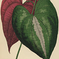 Ornamental Yam  Dioscorea Discolor by English School