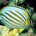 Ornate Butterflyfish by Dave Fleetham - Printscapes