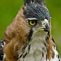 Ornate Hawk Eagle by Dant� Fenolio