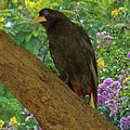 Oropendola Bird On Limb With Floral Background by Gene Norris