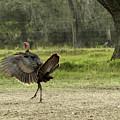 Osceola Turkey Trot by Teresa A and Preston S Cole Photography