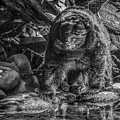 Oservant Black Bear  by Roxy Hurtubise