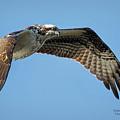 Osprey 1 by Deborah Benoit