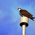 Osprey 1 by Judy Vincent