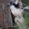Osprey 29 by Joyce StJames