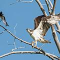 Osprey And Black Billed Magpie by Dennis Hammer