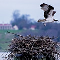 Osprey And Mount Vernon 2 by Buddy Scott
