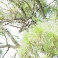 Osprey Applesauce by William Tasker