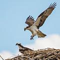 Osprey Approach by David F Hunter