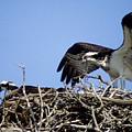 Osprey At Nest-2 by Steve Somerville