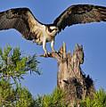 Osprey by Bill Dodsworth