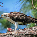 Osprey Breakfast Break by Tom Claud