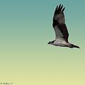 Osprey by Brian Wallace