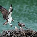Osprey Bringing Fodd To The Babies by Dan Friend