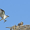 Osprey Brings Fish To Nest by Gary Beeler