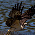 Osprey Catching A Fish by CJ Park