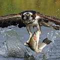 Osprey Catching Trout by Scott  Linstead