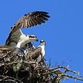 Osprey Chicks Ready To Fledge by Debbie Stahre